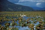 Trumpeter swans in a plant-covered Lake