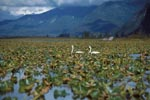Trumpeter Swans - the largest waterfowl of North America