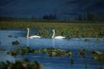 Two Swimming trumpeter swans