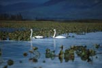 Two trumpeter swans in the plant-covered Lake
