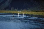 Swimming trumpeter swans