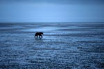Grizzly on mussel search
