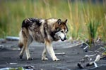 Wolf dog from Cook Inlet