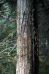 Tree with bear claws tracking