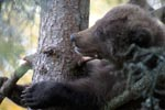 Young brown bear is comfortable on the tree