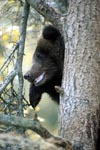 Young Brown Bear on the tree