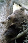 Little brown bear looks scary from the tree