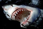Great White Shark - Slashing jaws