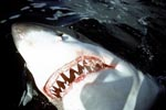 The sharp teeth of the Great White Shark
