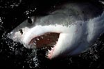 Great White Shark shows its mouth and teeth