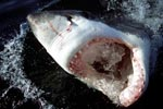 The Great White Shark's (Carcharodon carcharias)mouth is wide open when it breaks through the dark water surface. The huge, sharp, triangular teeth are highly visible, each one of them jagged as a saw blade. (00001544)