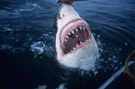 Razor razor-sharp: The teeth of the white shark