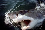 A White Shark breaks through the water with its mouth open
