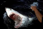 White Shark breaks through the water with open mouth