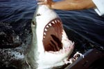 Great White shark - jaws wide open