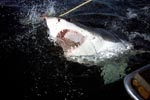 A Great White Shark emerges from the dark, opaque water