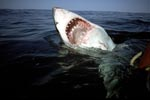 The open mouth of the Great White Shark