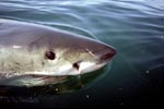 Great White Shark on the water surface