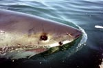 Great White Shark swimming on the water surface