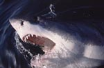 The great white shark breaks through the water surface