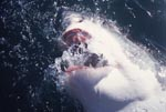 Great White Shark snapping at the water