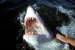 The mouth of the white shark with razor-sharp teeth