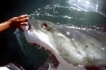 White Shark can roll the eyes back into their head to protect them