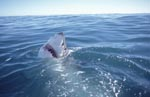 Great white shark lifts its head out of the water</b>