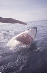 Great white shark with an open mouth on the water surface