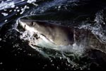 Great White Shark on its way off the South-African coast