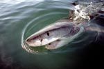 Spreading fear and fascination: the Great White Shark