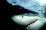 Unmistakable: The Great White Shark