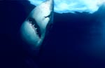 Great White Shark ascending to the ocean surface