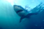 Great White Shark – one of the sea's most impressive predator