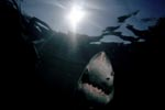 The Great White Shark on its way toward the light