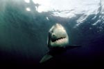 The Greate White Shark – a perfect creation of evolution
