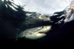 The Great White Shark plays a key role in the marine ecosystem