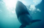 Phantom Great White Shark