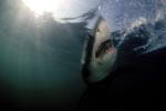 The phantom of the depth - the Great White Shark