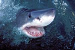 The great white shark lifts its head over water