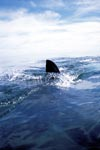 White shark dorsal fin cutting through the water