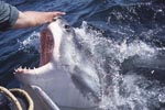Touching the nose of a Great White Shark