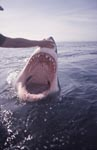 An intriguing look inside the mouth of the Great White Shark