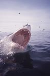 Wide open white shark jaws and seabirds
