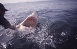 The mouth of the Great White Shark: a deadly weapon