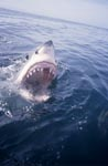 Great white shark JAWS on the sea surface