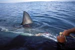 Great white shark dorsal fin right on the boat