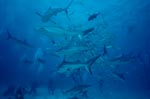 Caribbean Reff Sharks and Blacktip Sharks - Shark Rodeo
