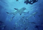 Shark Rodeo - Meeting of Caribbean reef sharks and Blacktip Sharks