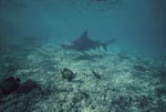 Bull- and Lemon Sharks in shallow water